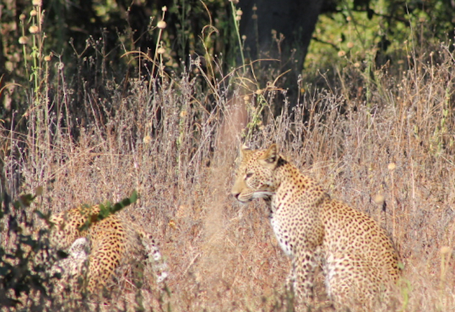 Big cats in South Africa (Photo: R. Naas)