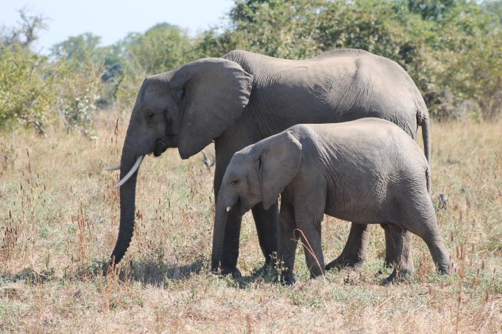 Peace Parks Foundation says they will not break up the elephants' social groups in the relocation. (Photo: R. Naas)