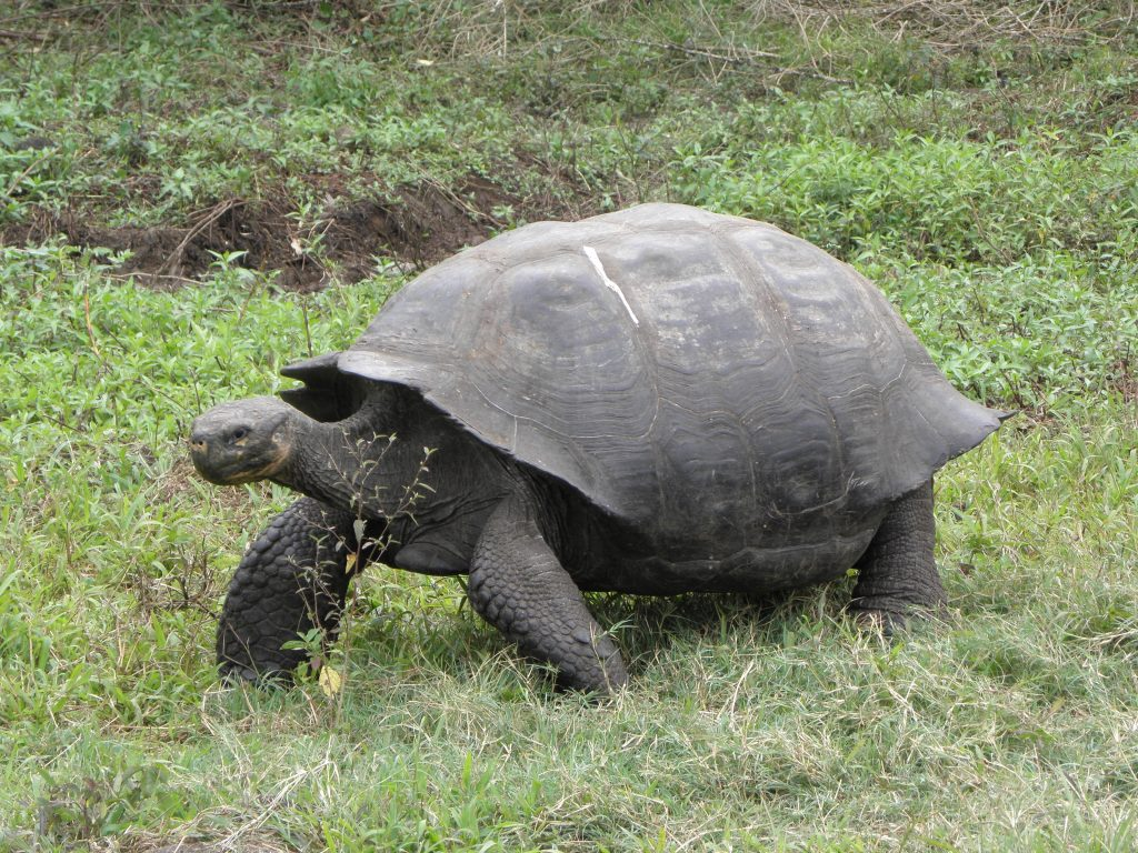 Tortoises in the Galapagos