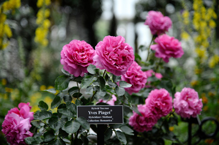 Yves Piaget Rose (r)  planted at the New York Arboretum in honor of Piaget Rose Day