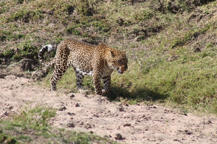 Slink as it may to get my attention, this leopard in Zambia stole my heart, but not my watch. (photo c: R. Naas)