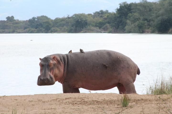 A hippo, complete with birds on its back, looks at my Ralph Lauren watch during the Chongwe River Camp safari in Lower Zambezi. No, he didn't get it! (photo c: R.Naas)