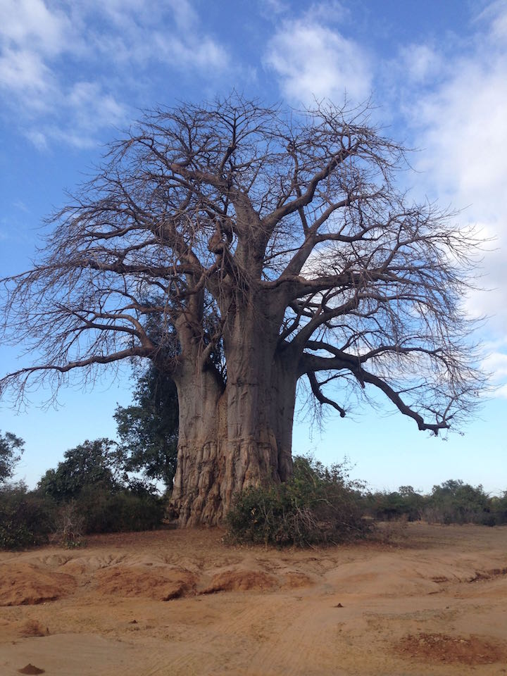 The ancient trees make for a dramatic appeal against the blue sky backdrop (photo: R.Naas/ATimelyPerspective)