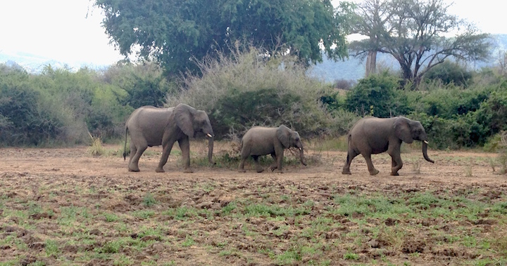 Elephant family in Chongwe (photo: R.Naas/ATimelyPerspective)