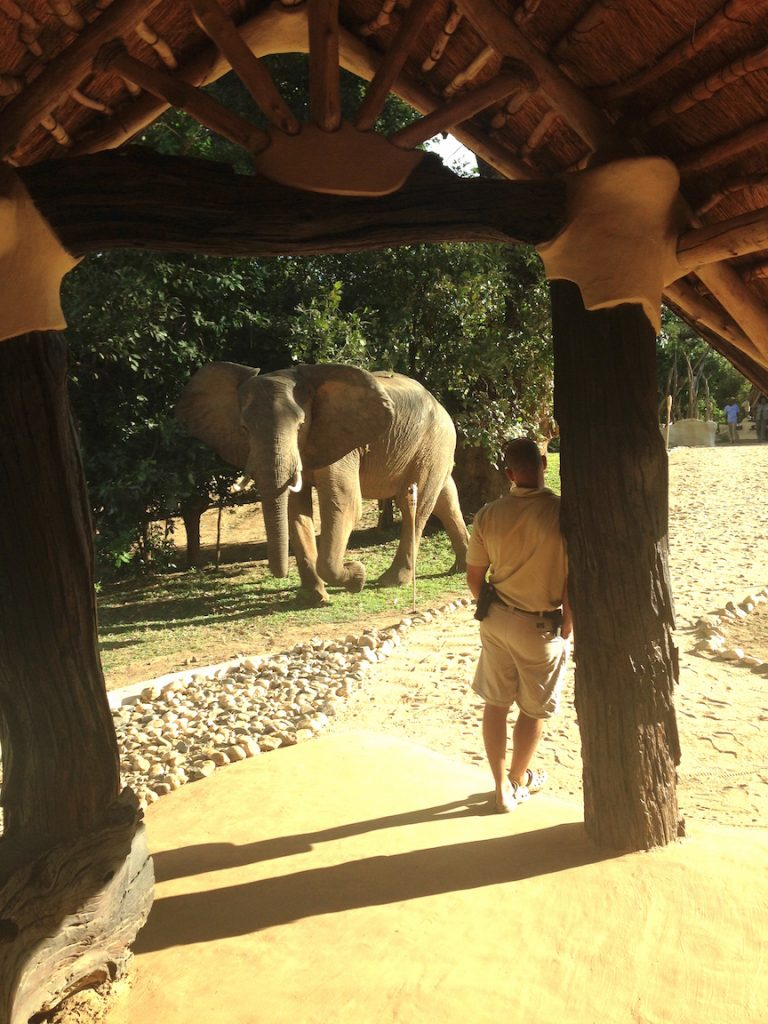 This elephant walked right past the lodge doorway at Chongwe River House (photo: R.Naas/ATimelyPerspective)