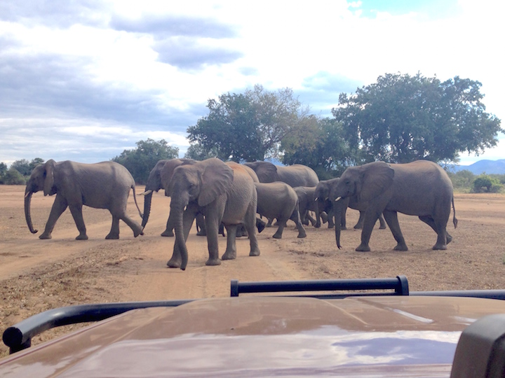Elephants roam in herds == walking in the path of the jeeps on safari. (photo: R.Naas/ATimelyPerspective)