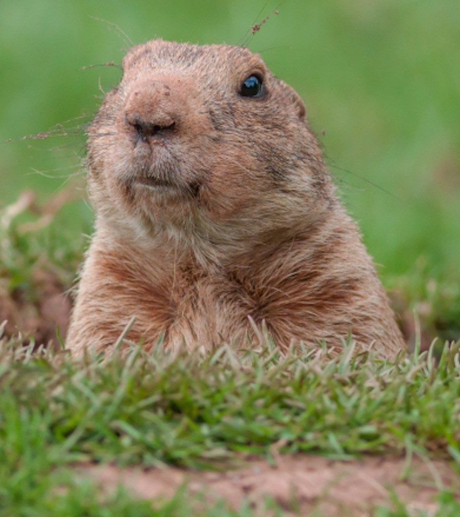 Why we celebrate Groundhog Day has roots dating back more than a century.