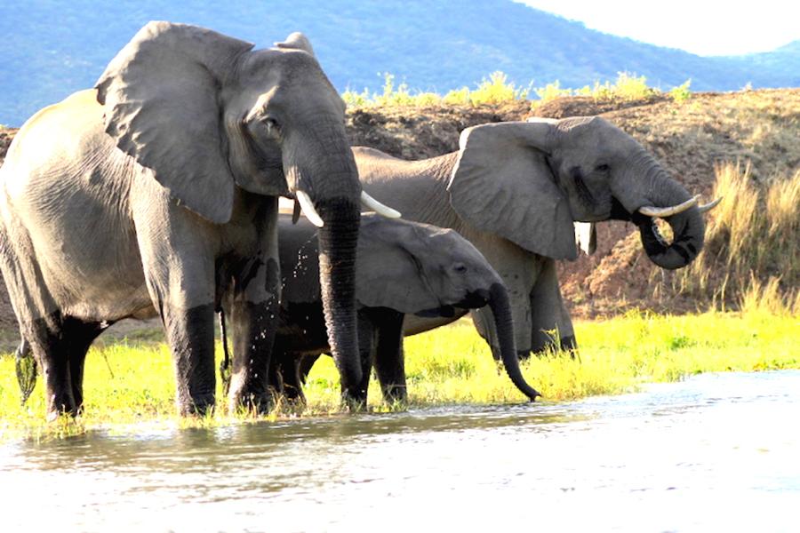 zambia river elephants